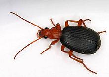 Bombardier Beetle 2