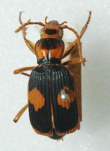 Bombardier Beetle 3